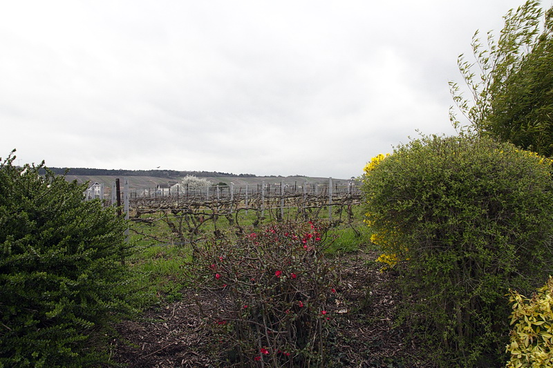 Sacy-vignes-champagne-Damien-Buffet